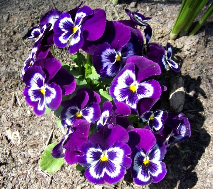 Pansies can take temperatures to about 20 degrees
