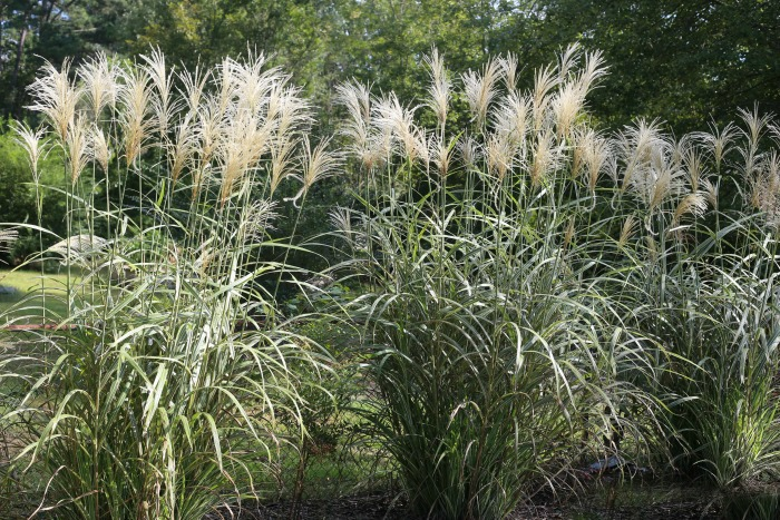 Silver grass with fronds
