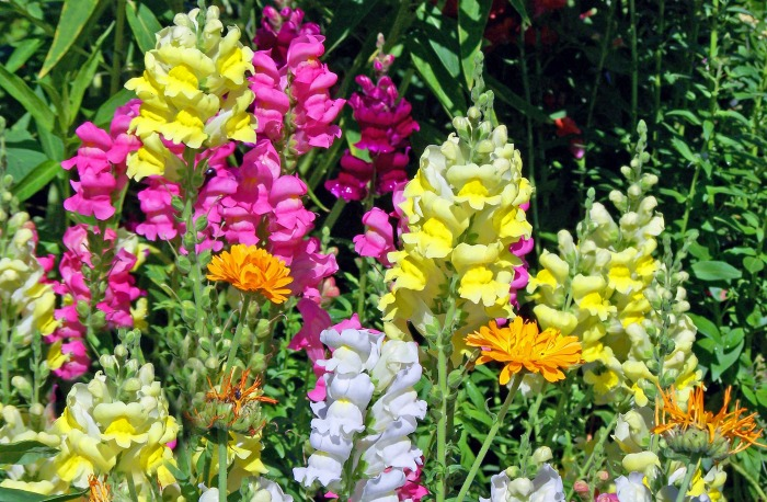 Snap dragons bloom right up to the first frost