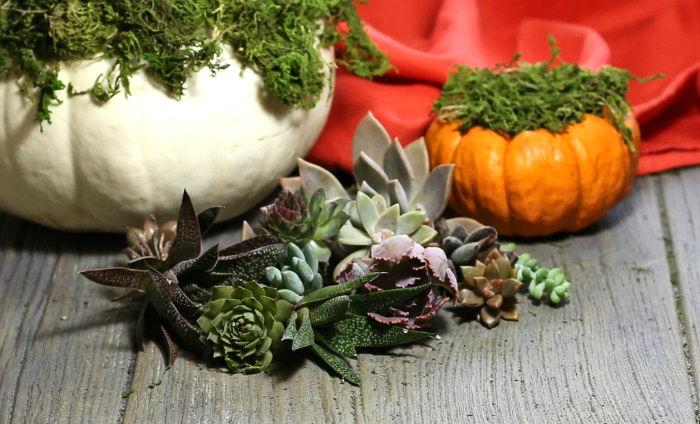 succulent baby plants