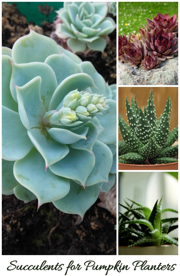 All of these succulents (and more) can be used for pumpkin planters