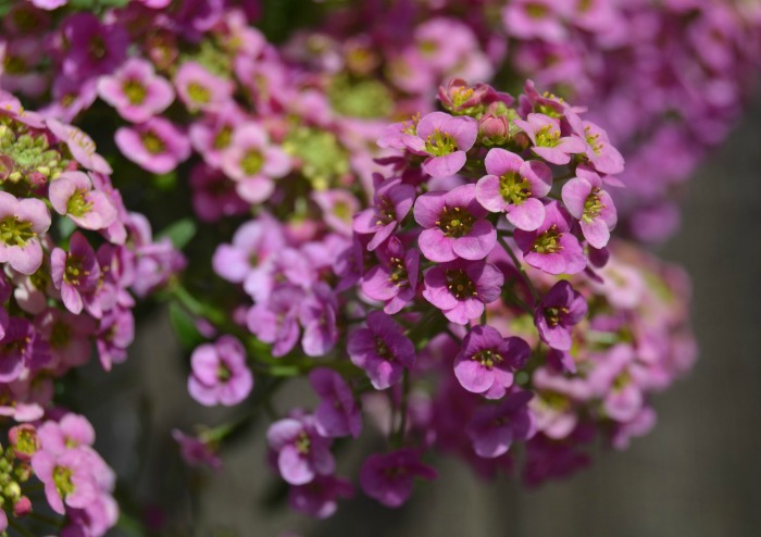 sweet alyssum tolerates the cold well