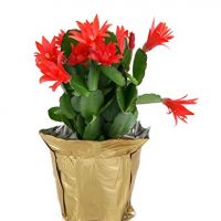 Costa Farms Live Christmas Cactus in 4in Gold Decor Pot Cover, Grower's Choice - Red, Pink, White, Fresh From Our Farm, Great as Holiday Gift or Christmas Decoration