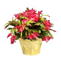 Costa Farms Live Christmas Cactus in 6in Gold Decor Pot Cover, Grower's Choice - Red, Pink, White , Great as Holiday Gift or Christmas Decoration