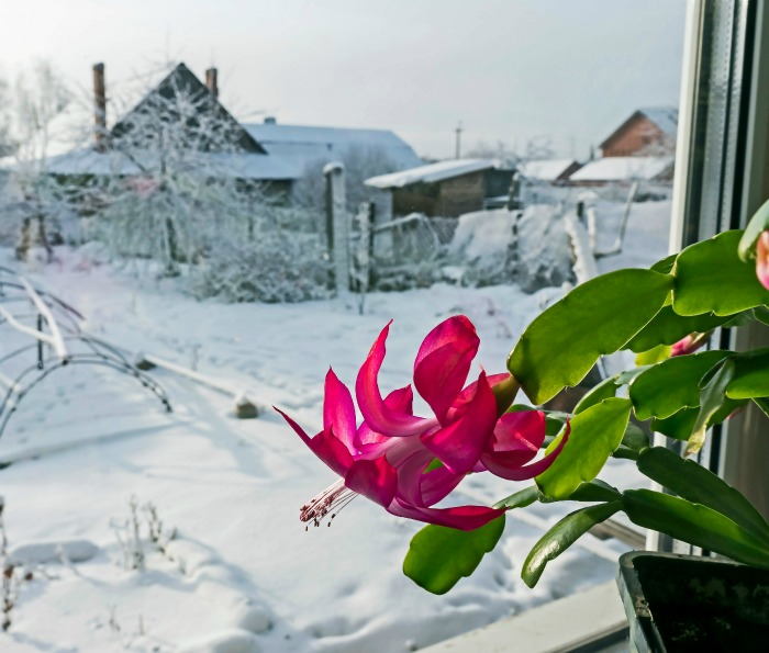 Christmas cactus in flower with snow outside a window.