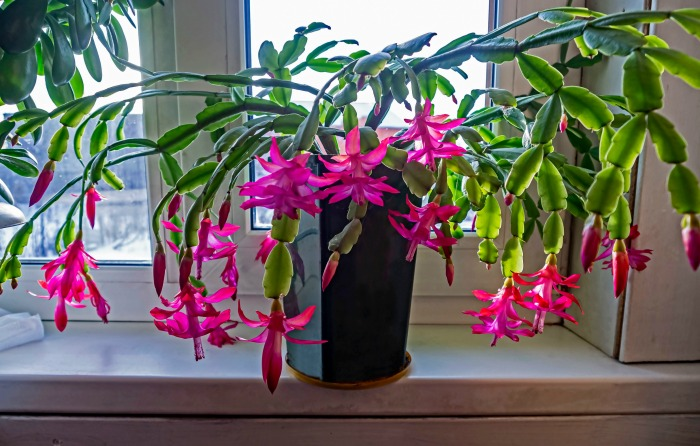 Matyure Christmas cactus on a window sill in flower.