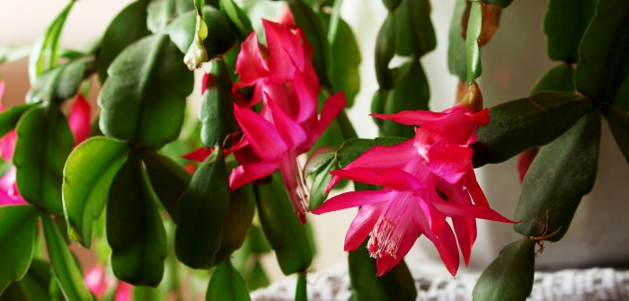 Christmas cactus blooming with Pink flowers.