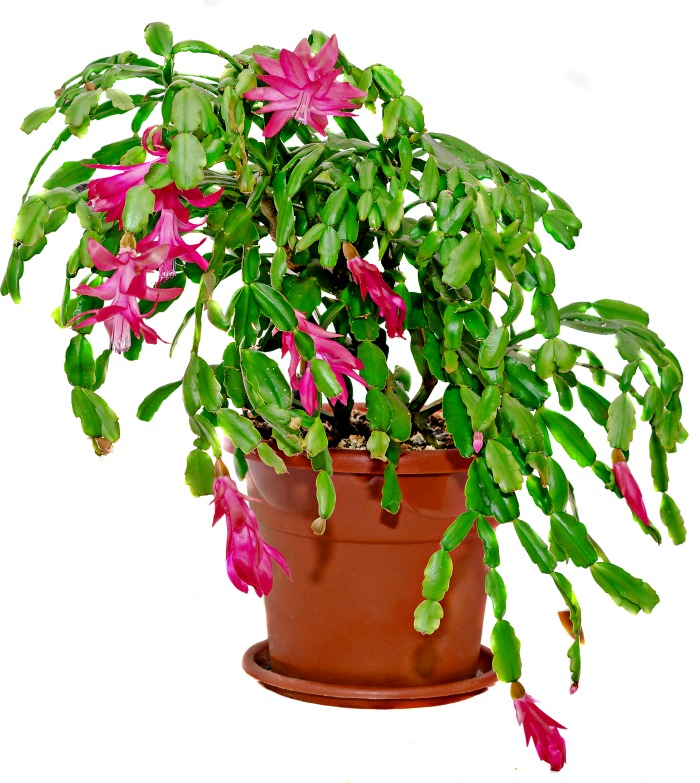 Mature Christmas cactus in a pot with pink flowers.