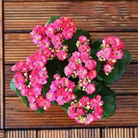 Go Garden 100Pcs/Bag Kalanchoe Plant (Kalanchoe Blossfeldiana Poelln.) Longevity Flowers Winter Pot Kalanchoe Bonsai Potted Plants: 8