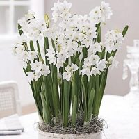 10 Ziva Paperwhites 13-15cm- Indoor Narcissus: Narcissus Tazetta: Nice, Healthy Bulbs for Holiday Forcing!!
