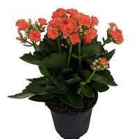 "'Christmas Rosebud Orange Kalanchoe' - Calandivia - 4"" Pot - In Bud and Bloom"