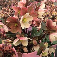 Pink Ribbon Plants - Helleborus 'Pink Frost' (Lenten Rose) Perennial, pink flowers, 8`` - Size Container