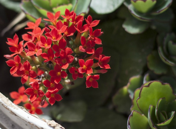 Flaming Katy Kalanchoe plant