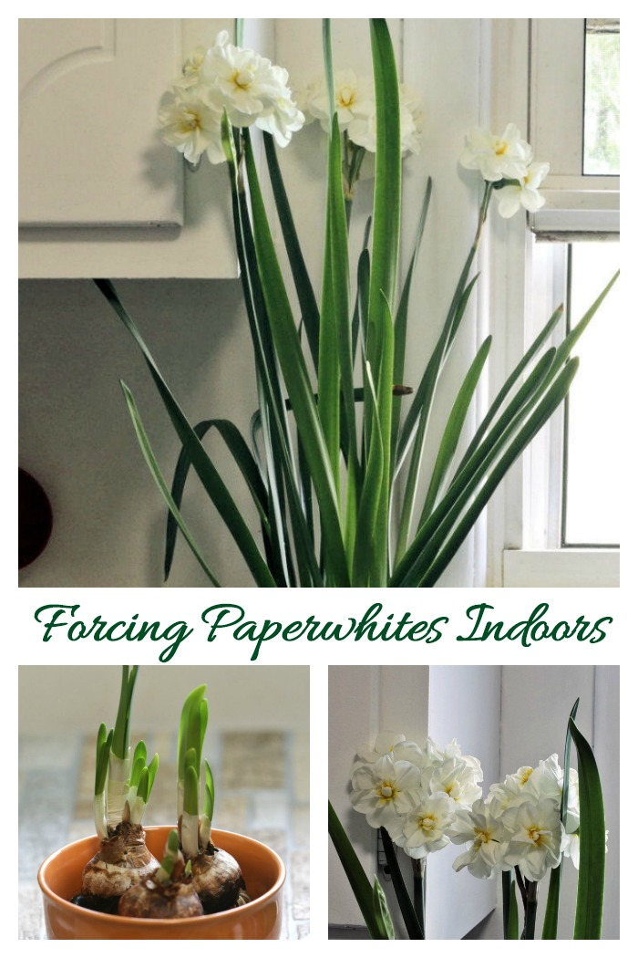 Forcing paperwhites indoors is very easy to do. All you need are four items and you'll have blooms in 4-6 weeks.