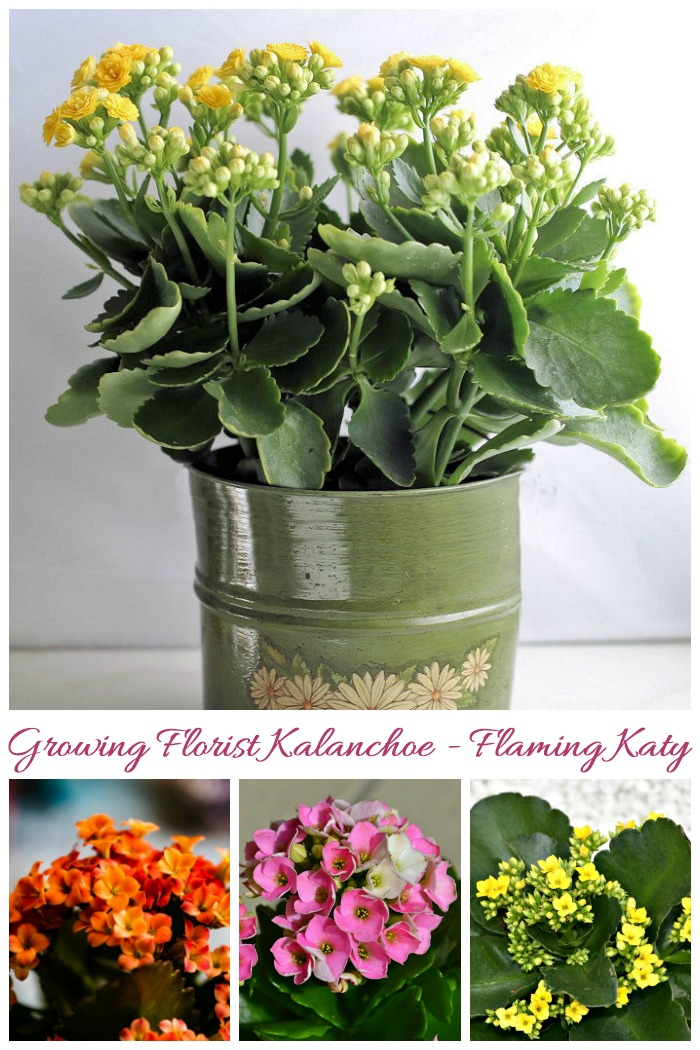 These tips for kalanchoe blossfeldiana care will keep your plant in great shape and teach you how to get it to flower again next year.