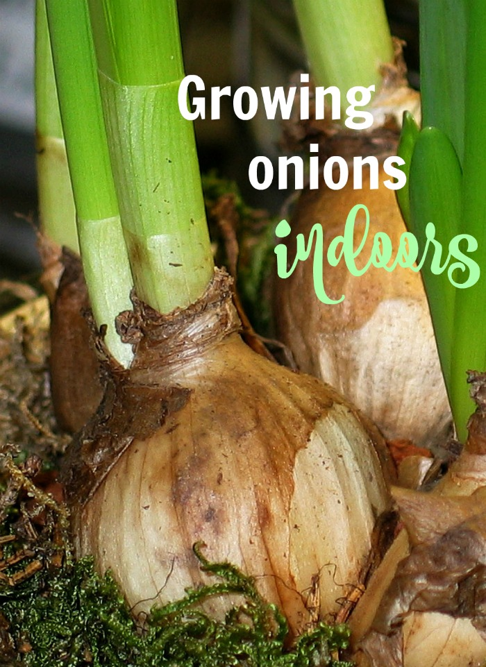 Growing onions indoors
