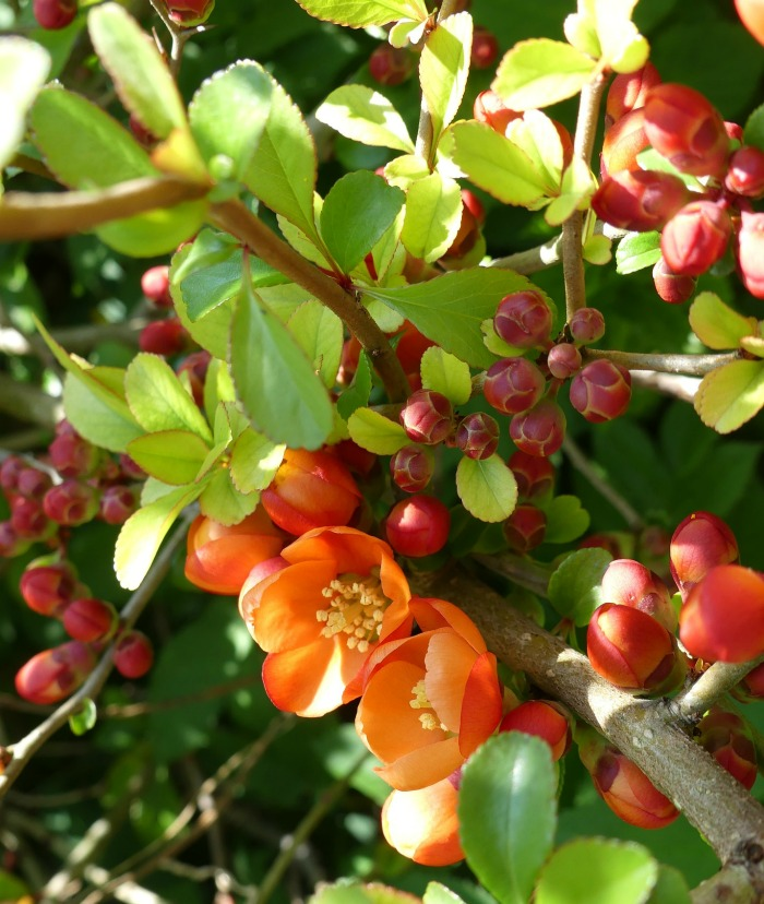 Japanese ornamental quince flowers in late winter