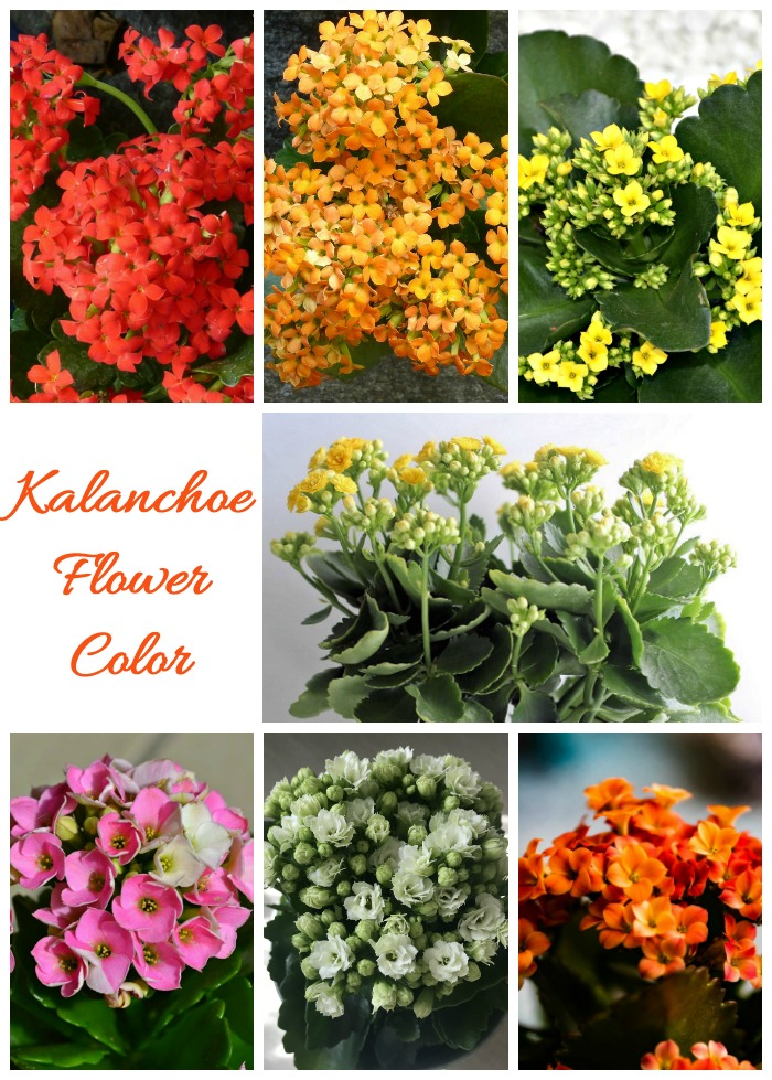 Kalanchoe Flower Colors range from white to all shades of pink, red, yellow and orange