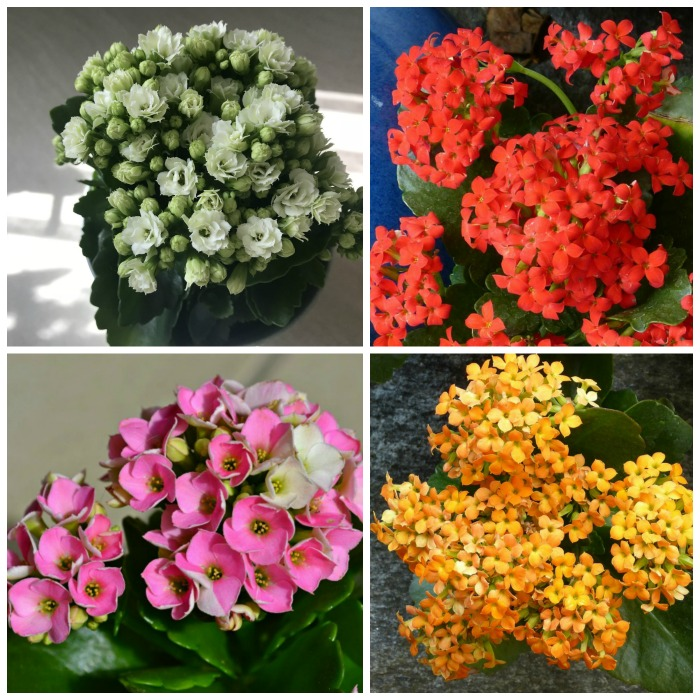 Kalanchoe Blossfeldiana Care - How to Grow Florist Kalanchoe