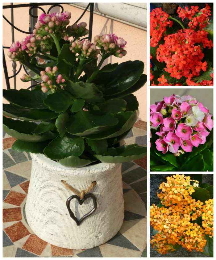 Kalanchoe plants have long lasting flowers and require little watering