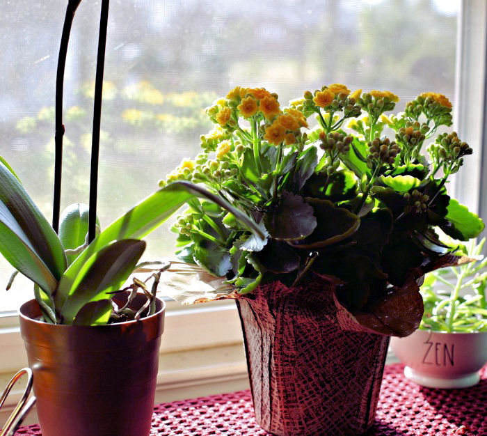 Kalanchoe likes very bright sunlight in the winter months