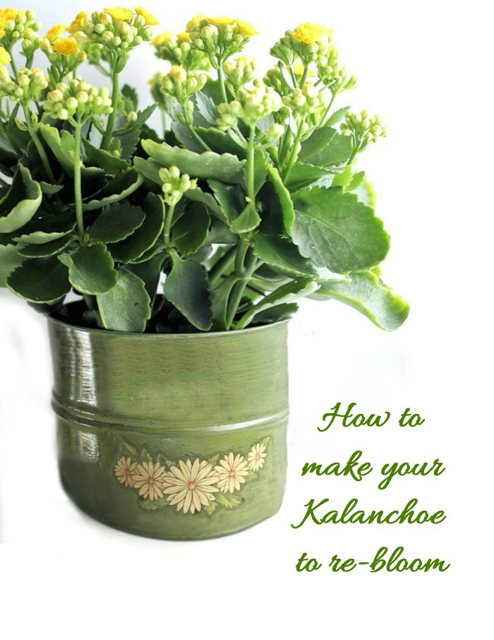 Tips for getting your kalanchoe plant to re-bloom next year