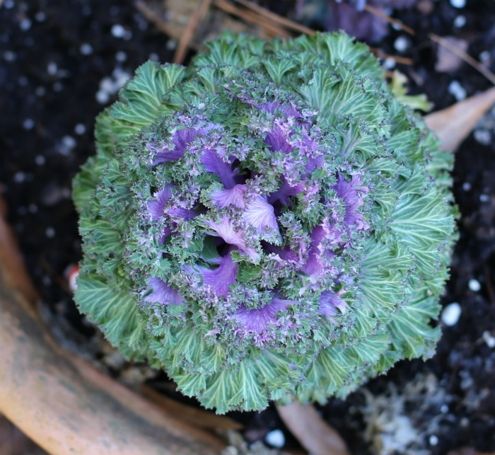 Flowering kale is very cold hardy