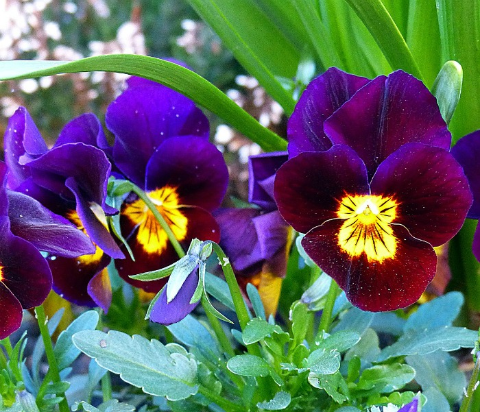 Plant pansies in the fall. in warm climates they will overwinter