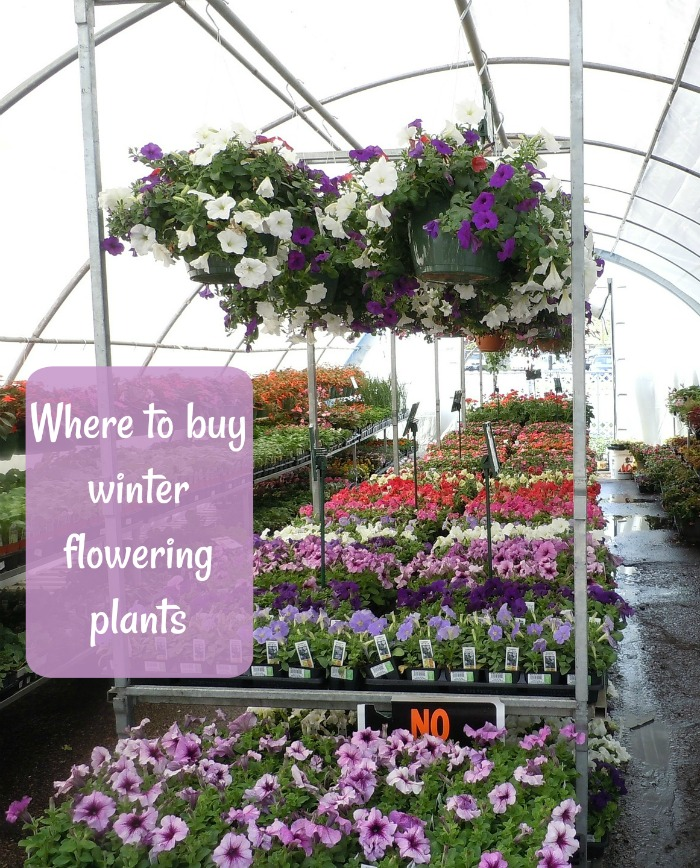 Find out where to buy plants in winter and which ones do the best in cold weather