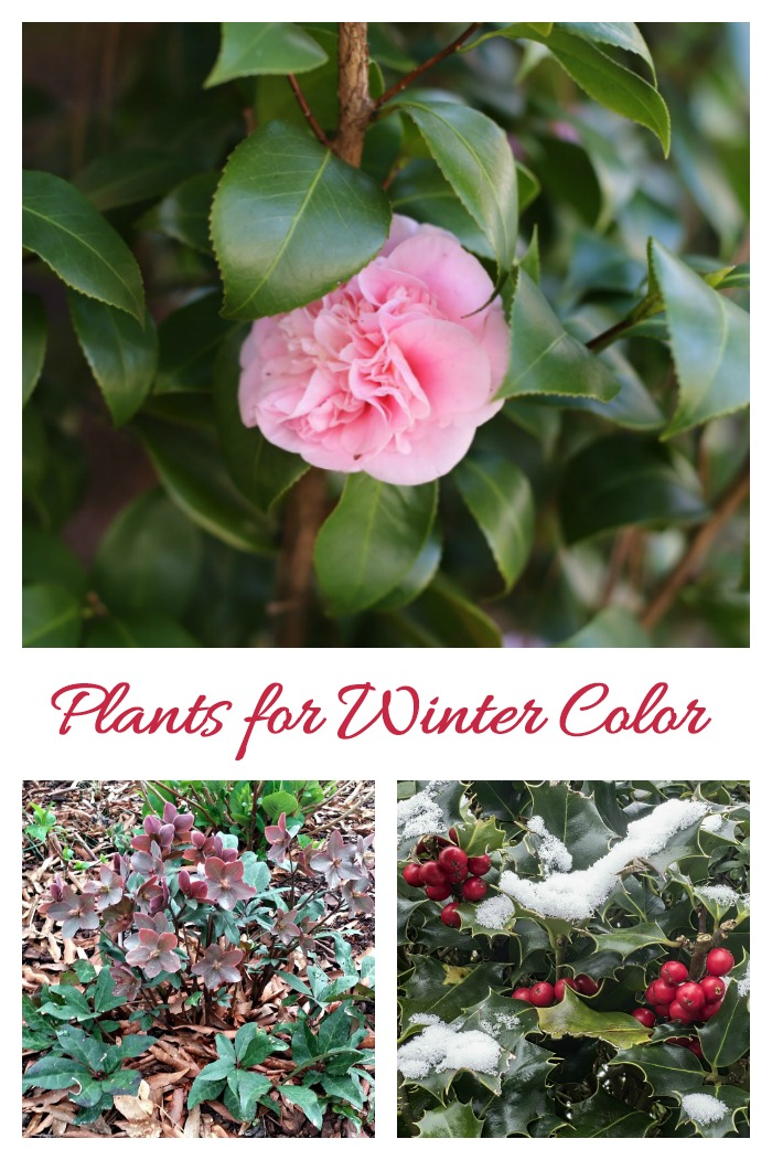 Grow these winter flowering plants to add color during the cold weather