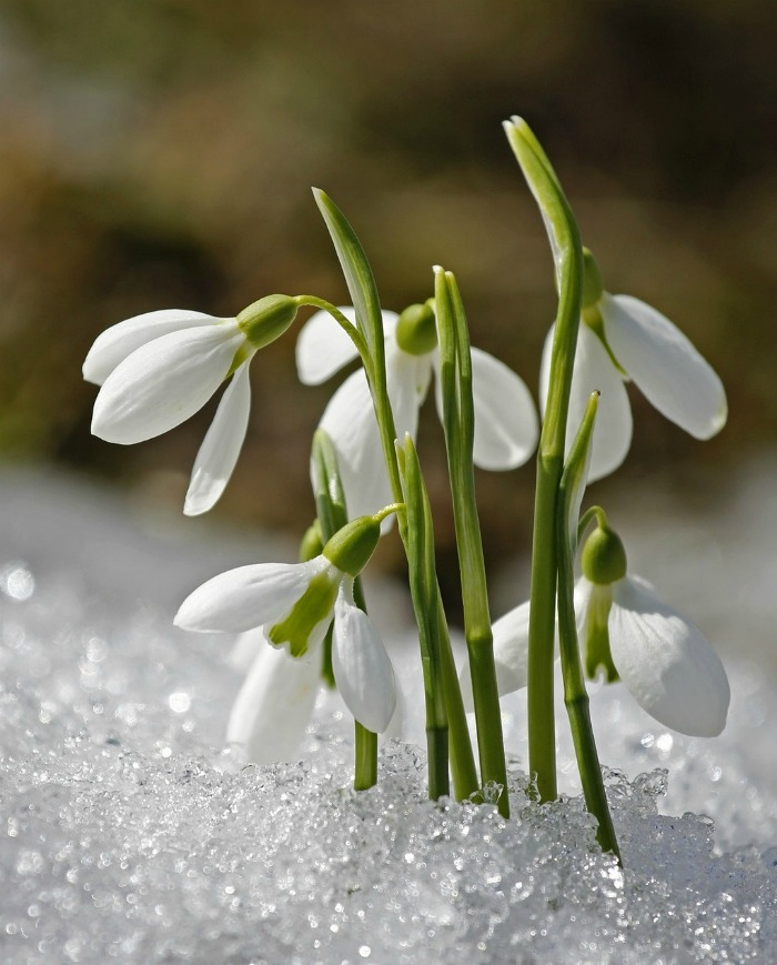 Snowdrops are one of the first bulbs to bloom each year
