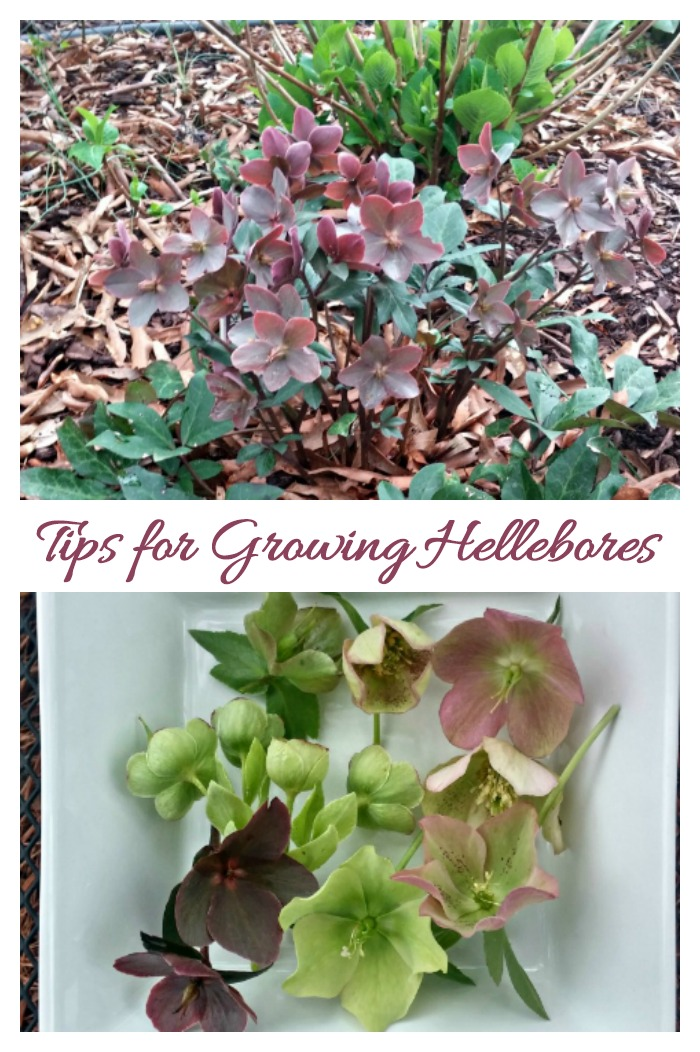 Tips for growing hellebores
