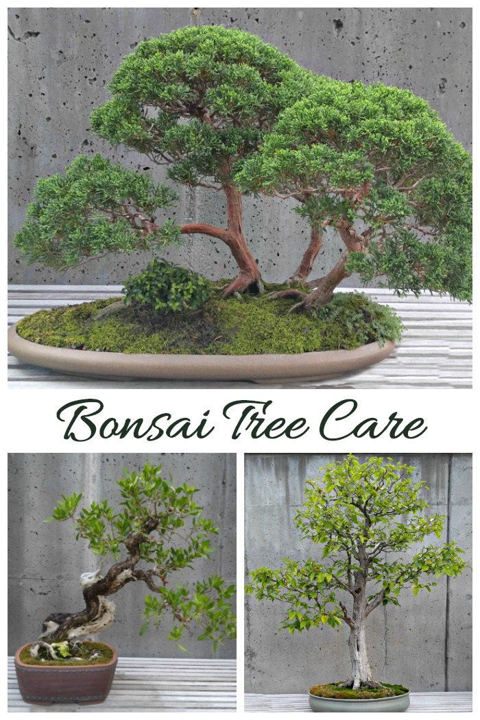 Bonsai tree care and Information. Tips for growing bonsai trees.,