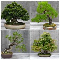 Caring for bonsai trees