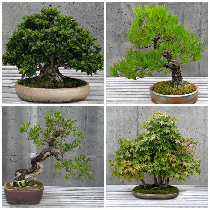 Bonsai Tree Care - Small Trees - Big Impact!