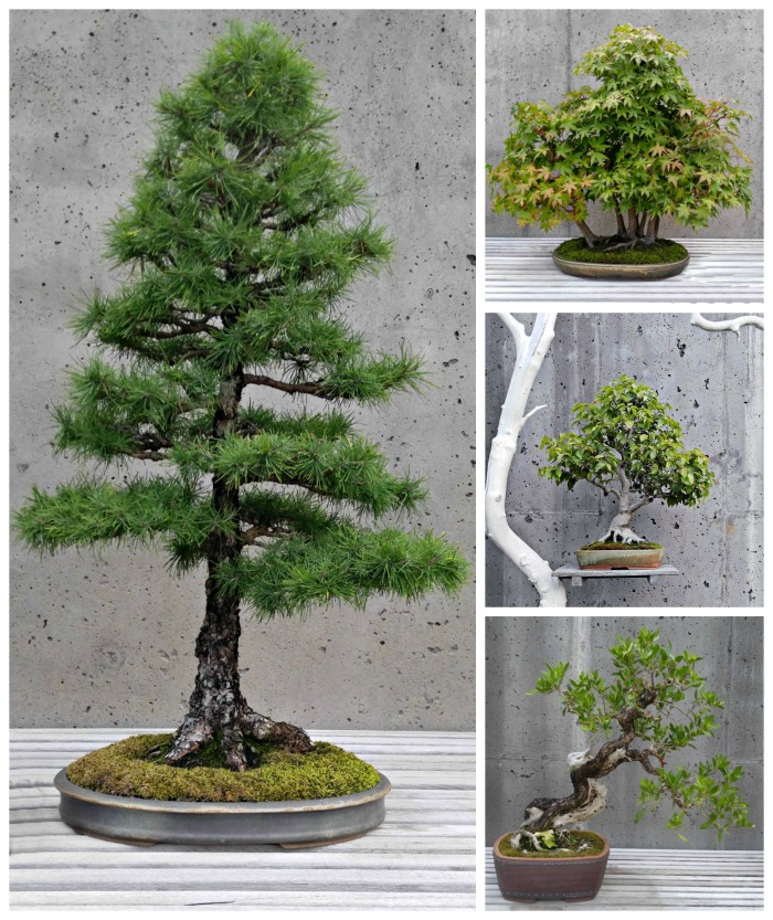Bonsai trees collection