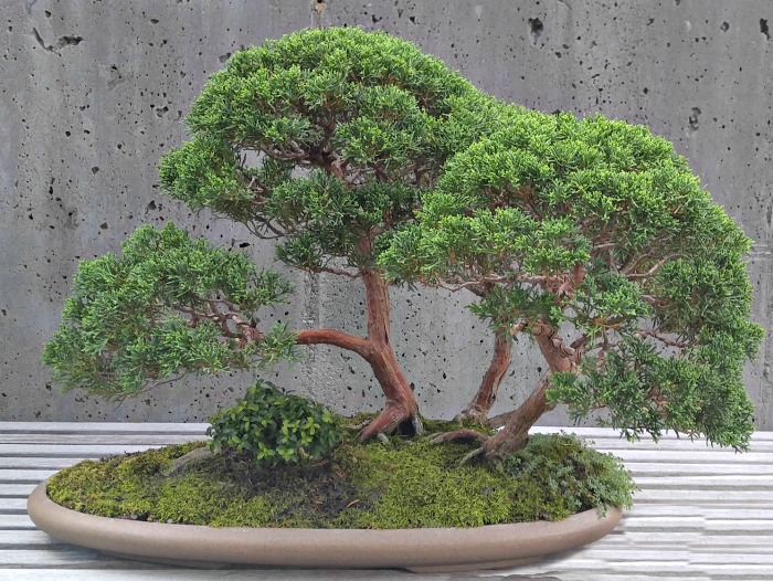 Creeping Thyme Bonsai tree