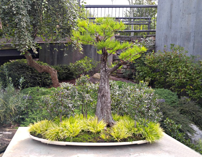 Pond cypress bonsai plant - find out about bonsai tree care