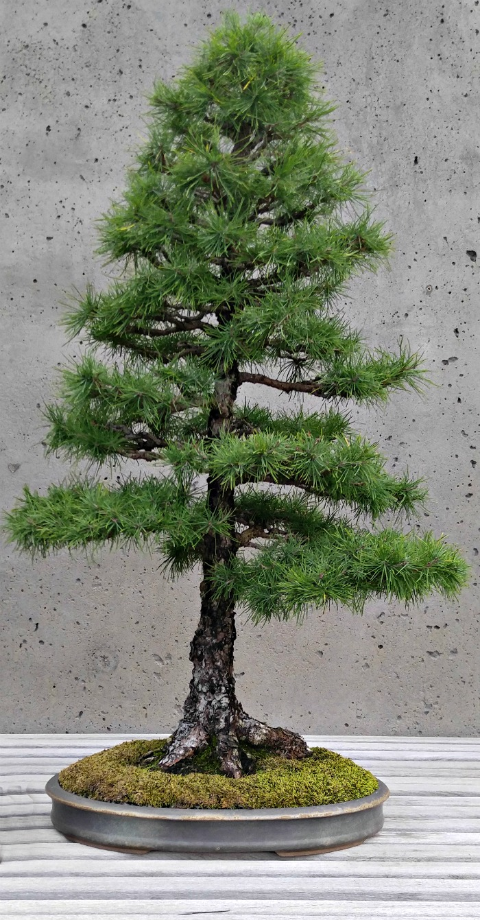 Tamarack Bonsai tree