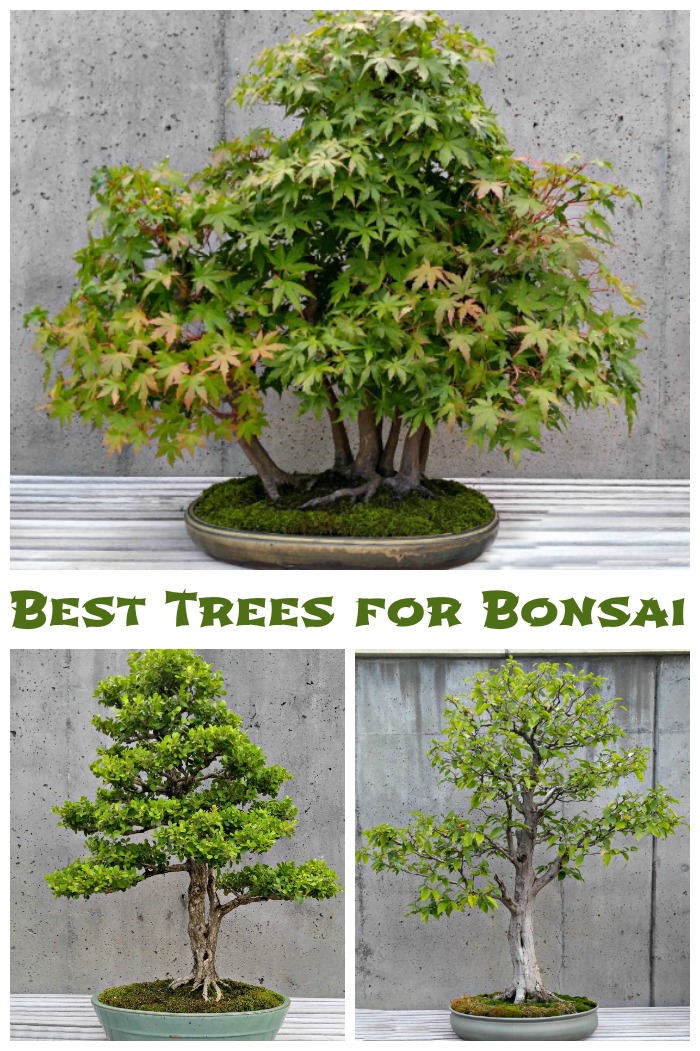 Best Trees for bonsai plants