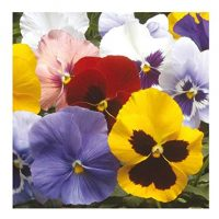 IDEA HIGH Pansy Winter Flowering - HIEMALIS Mixed - 400 Seeds