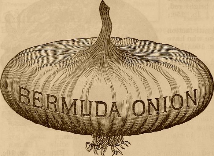 Bermuda onion illustration