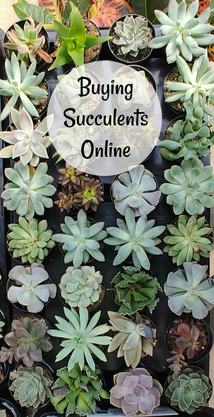 Tips for buying succulents online