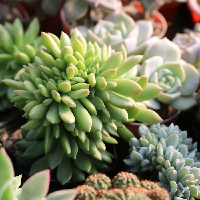 Tips for Buying Succulents