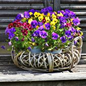 How to grow pansy flowers