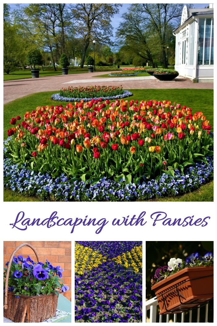 Pansies are a great plant to use in landscaping projects.