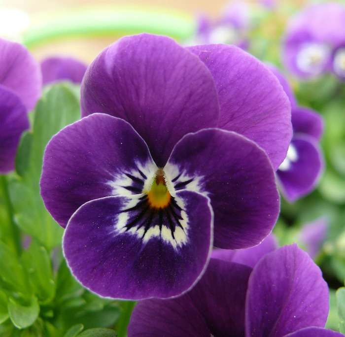 Face on a pansy flower