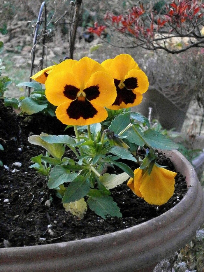 pansies are normally grown as annuals