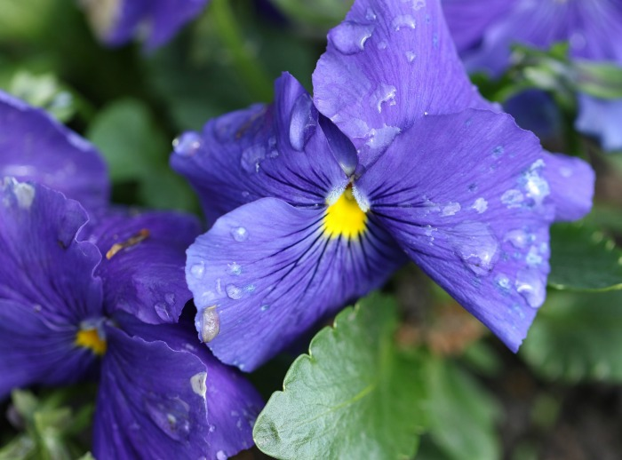 Pansies like cool weather and ample rainfall
