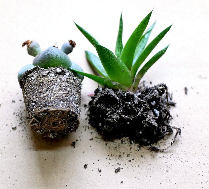 Succulent root balls